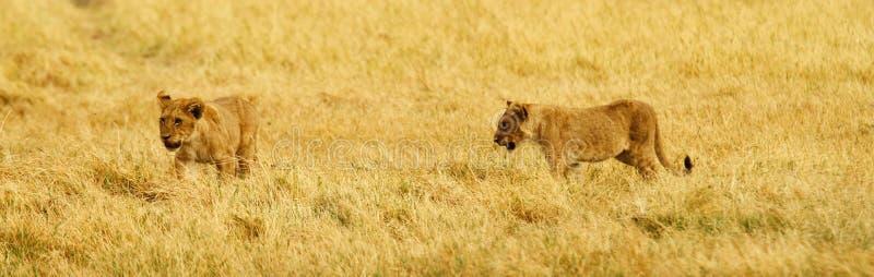 Kleiner Lion Cubs stockbild