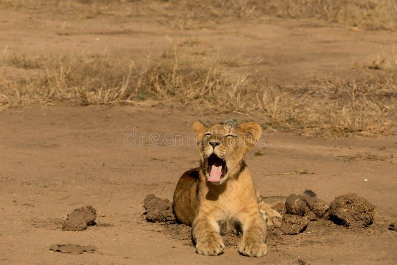 Kleiner Lion Cup Yawning lizenzfreie stockfotos
