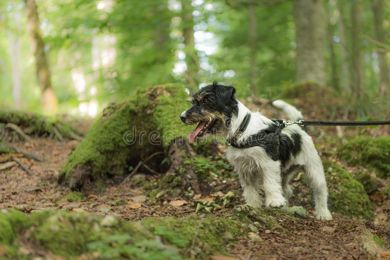 Kleiner lustiger Jack Russell Terrier-Hund sitzt ergeben in einem sonnigen Wald stockbilder