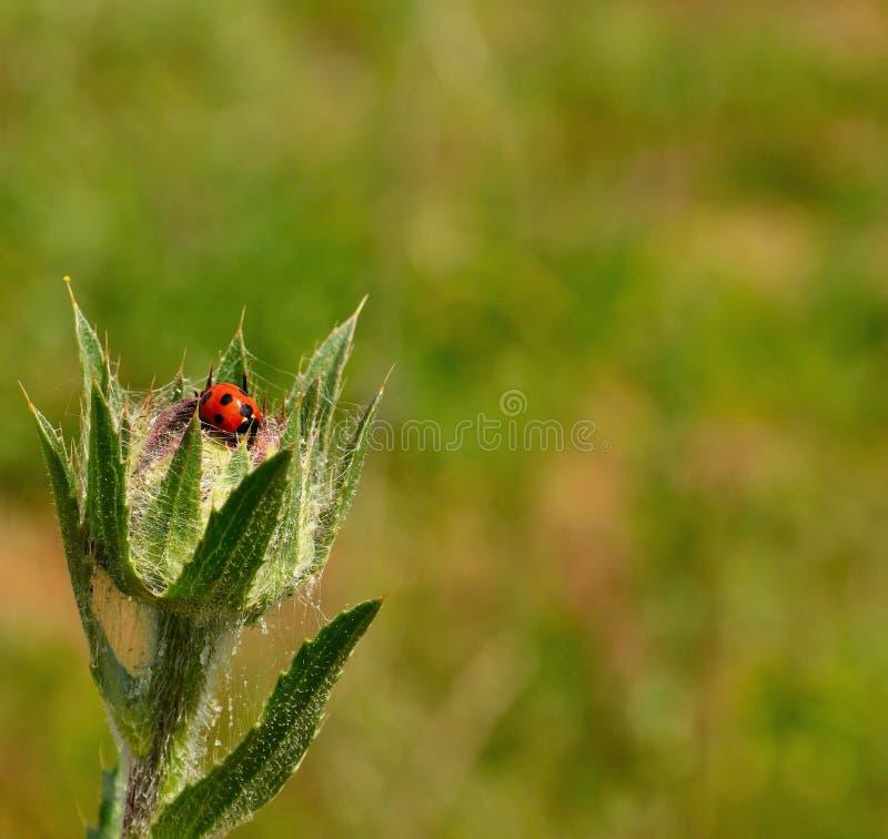 Kleiner Marienkäfer auf wilder Distel im Vordergrund stockfotografie