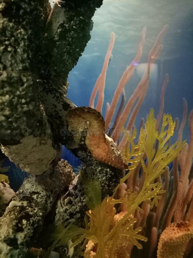 Kleiner Meeresfisch des Seahorse mögen Koralle lizenzfreies stockbild