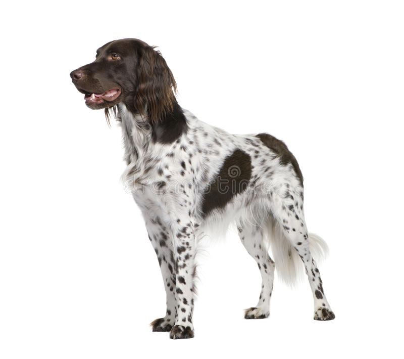 Kleiner Munsterlander Hund gegen weißen Hintergrund lizenzfreies stockbild