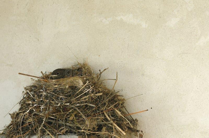 Kleiner Nestling im Nest nahe der Wandbeschaffenheit lizenzfreie stockbilder