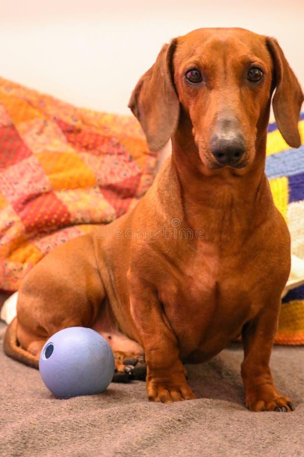 Kleiner netter Dachshund mit blauem Ball lizenzfreie stockfotos