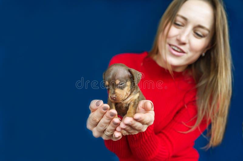 Kleiner netter Welpe des Dachshunds in den Händen einer jungen Frau auf blauem Hintergrund lizenzfreies stockfoto