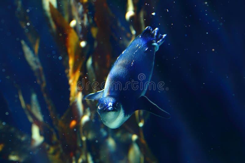 Kleiner Pinguin in der dunkelblauen Unterwasserlandschaft lizenzfreie stockfotografie