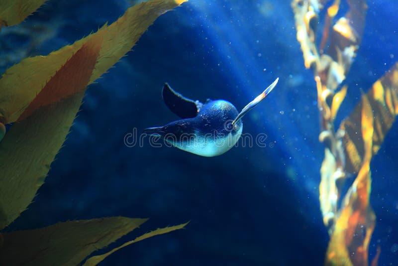 Kleiner Pinguin Unterwasser zwischen Anlagen lizenzfreies stockbild