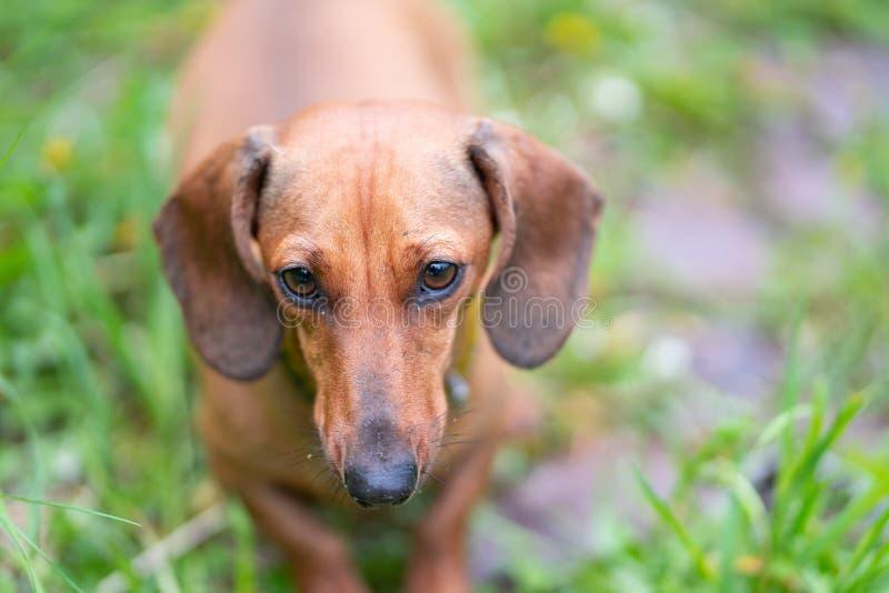 Kleiner recht brauner schwarzer Dachshundhund, der im schönen grünen Gras steht stockfoto