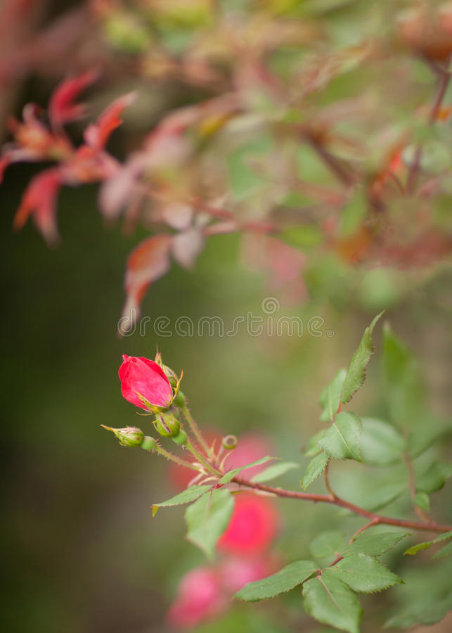 Kleiner Rosebud stockfotos