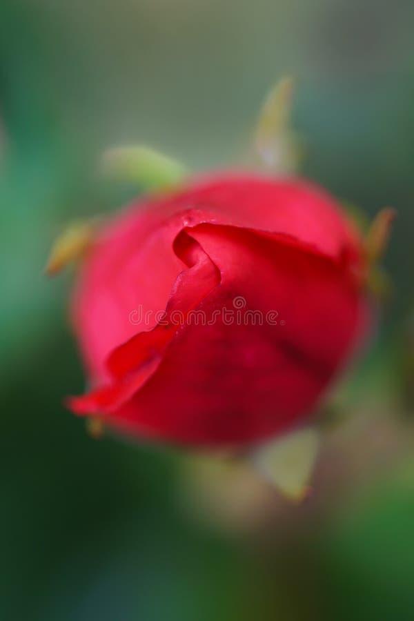 Kleiner Rosebud stockfoto