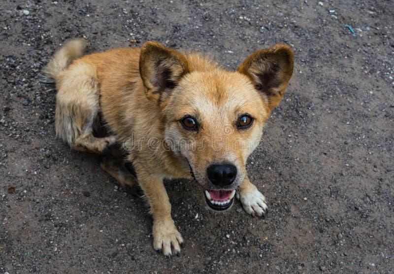 Kleiner roter Hund mit offenem Mund lizenzfreie stockfotos