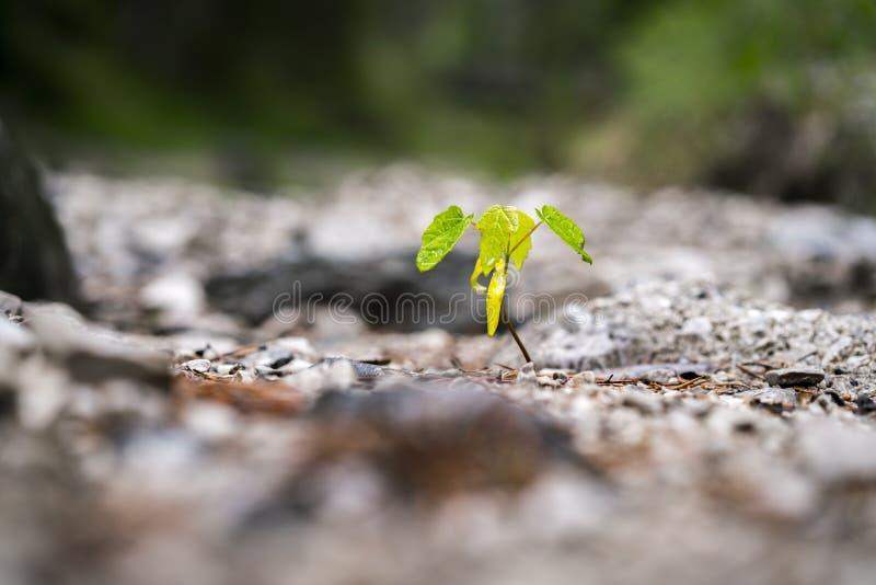 Kleiner Sämling, der im Boden wächst stockbilder
