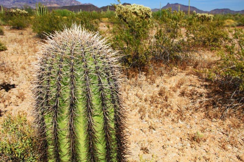 Kleiner Saguaro-Kaktus im Orgelpfeifenkaktus-Nationaldenkmal lizenzfreies stockbild