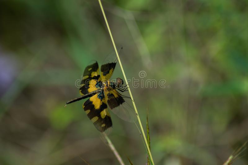 Kleiner schöner Schmetterling klettert auf der Grasniederlassung lizenzfreie stockbilder