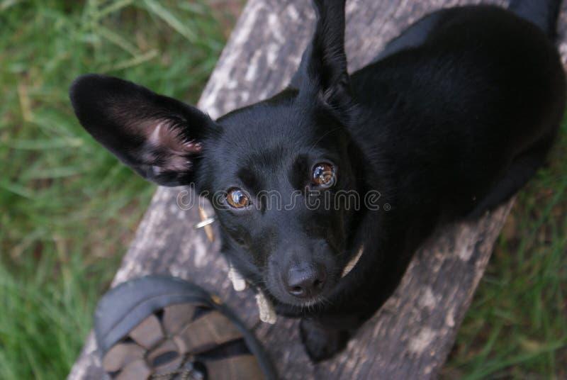 Kleiner schwarzer Hund lizenzfreie stockfotos