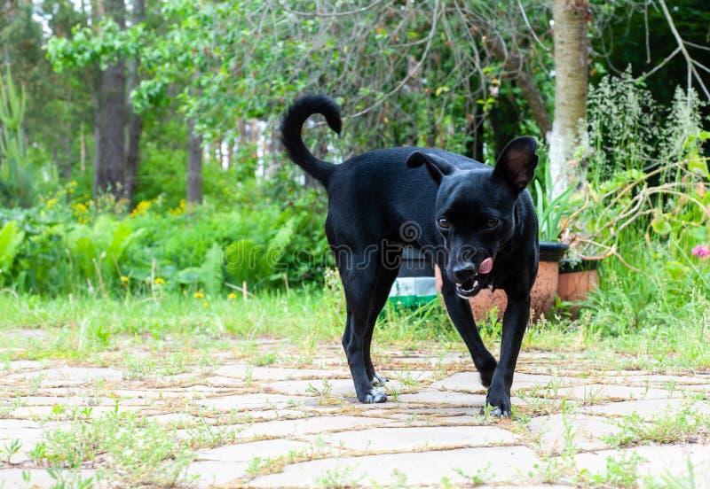 kleiner schwarzer Hund, aussehend wie eine pincher Zucht, schauen zur Kamera und boshaft lecken lizenzfreie stockbilder