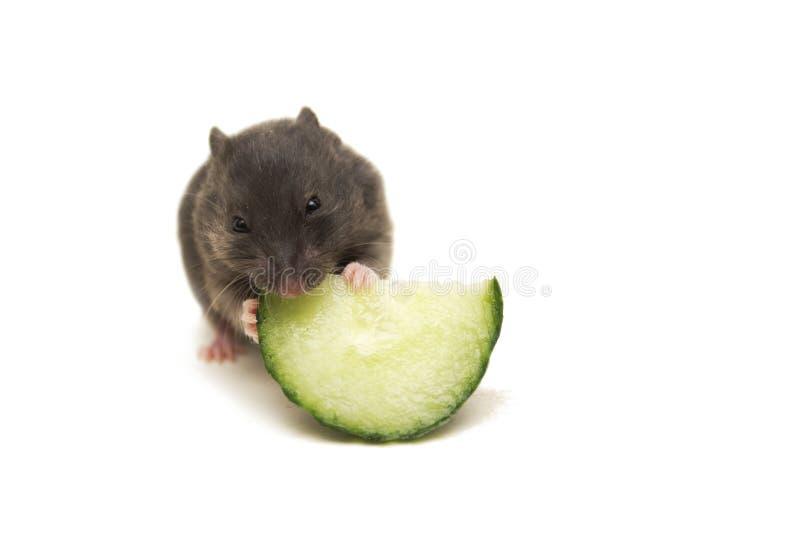 Kleiner schwarzer syrischer Hamster, der Gurke isst lizenzfreie stockfotografie