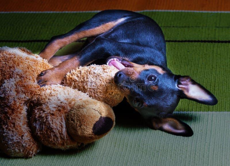 Kleiner schwarzer Zwergpinscherwelpe spielt mit einem Plüsch angefüllten Teddybären betreffen Teppich auf Boden Spa? stockfoto