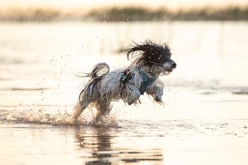 Kleiner Schwarzweiss-Hund, der herum in seichtes Wasser läuft lizenzfreies stockfoto