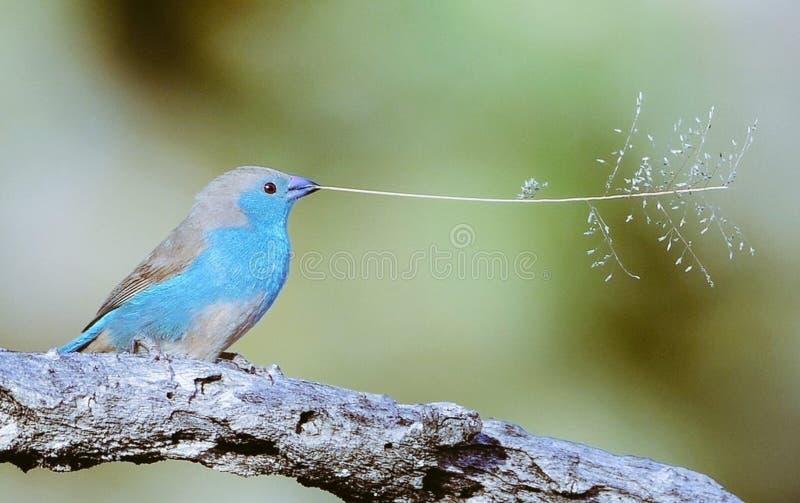 Kleiner Singvogel mit dem Zweig