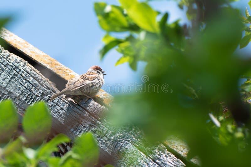Kleiner Spatz sitzt auf dem Dach des Hauses lizenzfreies stockfoto