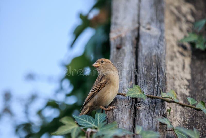 Kleiner Spatzenvogel, der auf einem hölzernen Dach an der Landschaft sitzt Weicher Fokus stockfotos