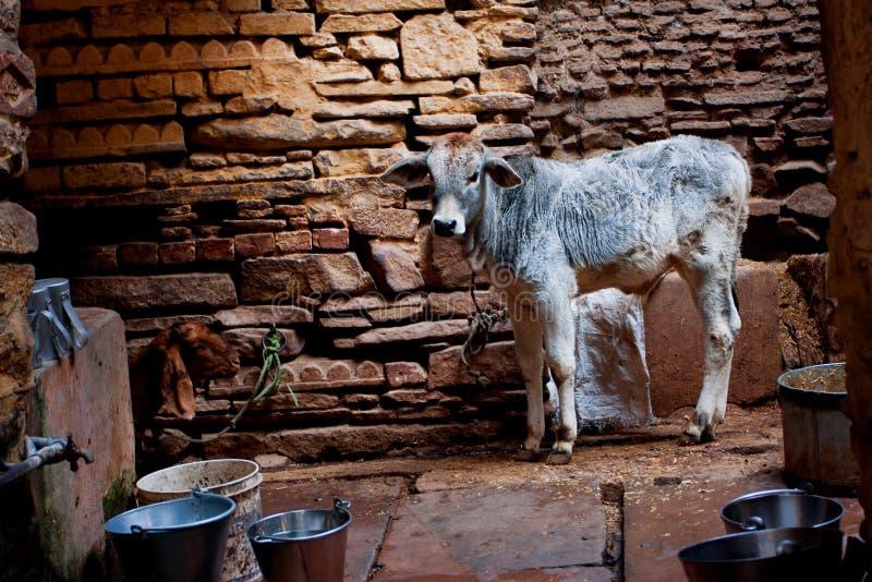 Kleiner Stier steht in einer alten Steinscheune für Vieh lizenzfreies stockbild