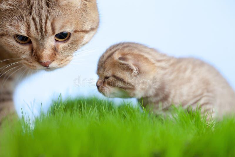 Kleiner Tabbykätzchen Scottish mit Mutterkatze stockbilder