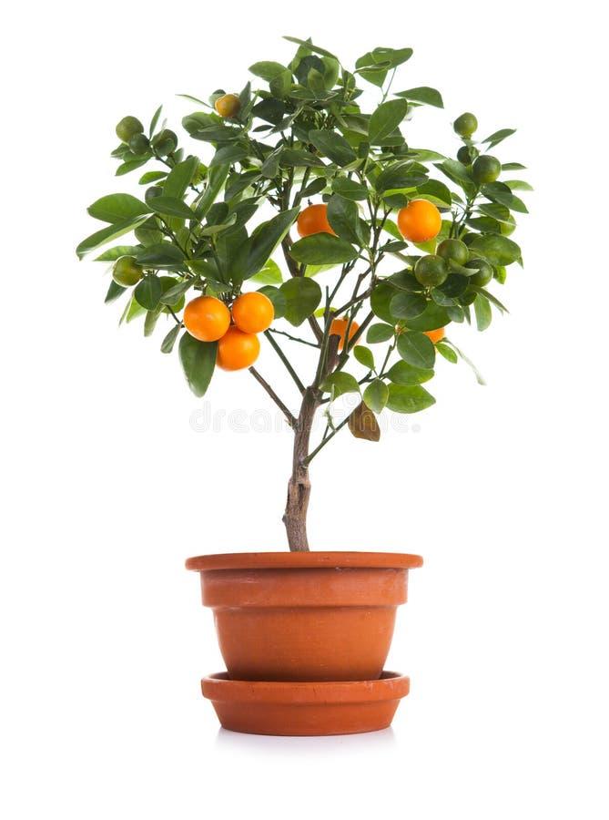Kleiner Tangerinebaum im Topf lizenzfreies stockfoto