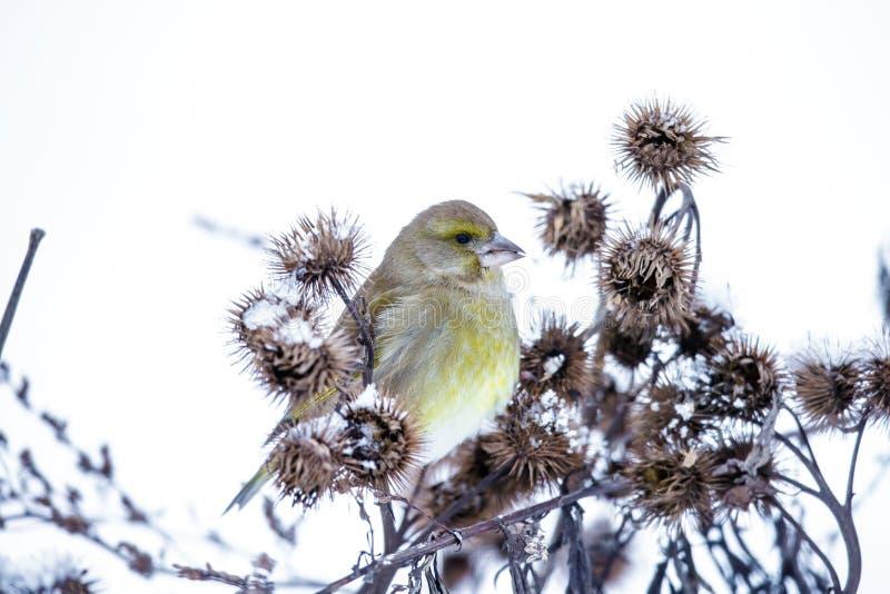 Kleiner Vogel auf einer Niederlassung im Winter lizenzfreie stockfotos