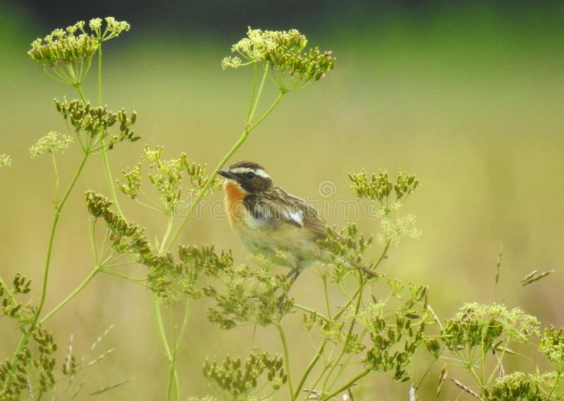 Kleiner Vogel auf Gras lizenzfreie stockfotos