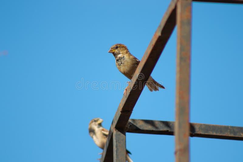 Kleiner Vogel des Spatzen zwei im Metallbau am klaren Sommertag stockfotos