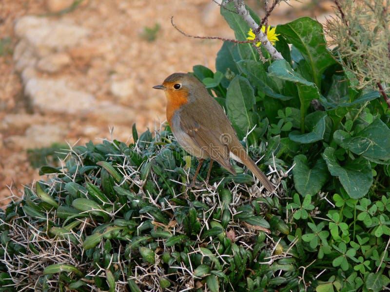 Kleiner Vogel Europäer-Robin-Rotkehlchens mit der orange Brust stockfoto