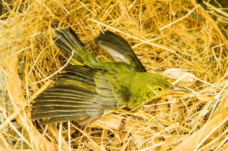 Kleiner Vogel im Nest lizenzfreie stockfotos