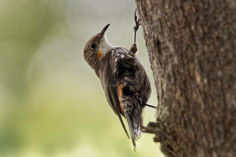 Kleiner Vogel Picumnus Browns Treecreeper - Climacteris, größtes Australasian treecreeper, endemisch nach Ost-Australien, Kap Yor stockbilder