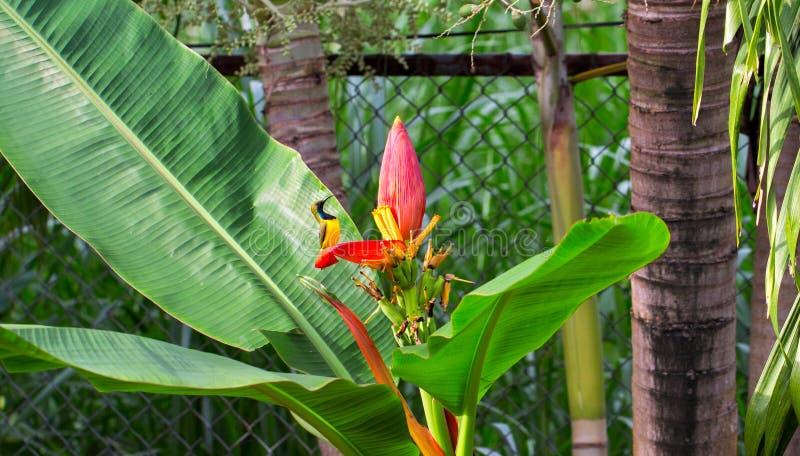 Kleiner Vogel singt auf Bananenblume Olive-zurück sunbird Mann auf exotischer Anlage Kleiner gelber Vogel mit blauem Kasten lizenzfreies stockfoto