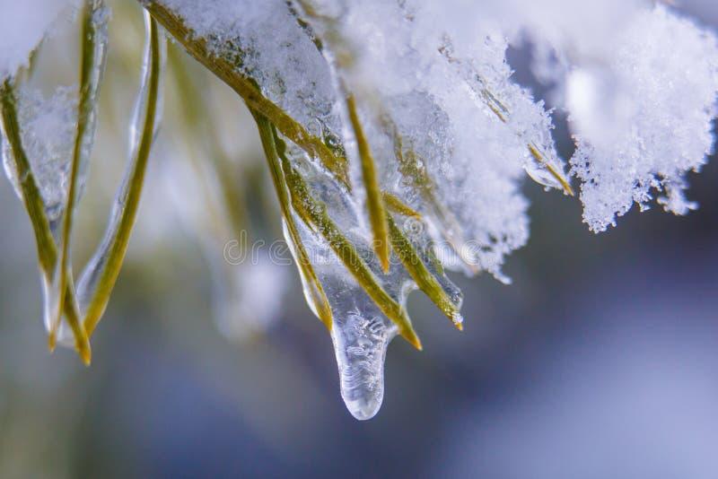 Kleiner Wassertropfen, der hinunter Eiszapfen auf Kiefernniederlassungsmakro läuft lizenzfreie stockfotos