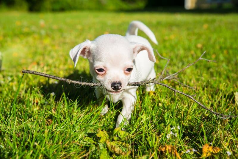 Kleiner weißer Chihuahuawelpe auf einem Rasen lizenzfreie stockfotos