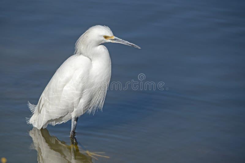 Kleiner weißer Heron am Ufer des La Pas-Sees lizenzfreie stockfotografie