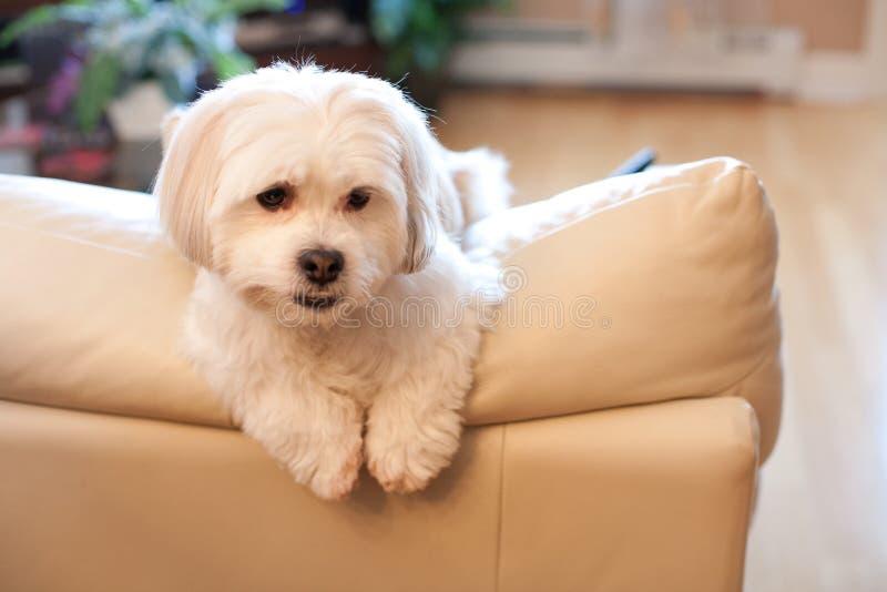Kleiner weißer Hund schaut einsam stockfoto