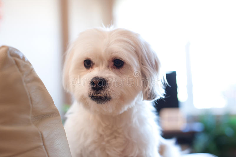 Kleiner weißer Hund sitzt auf Couch lizenzfreies stockfoto