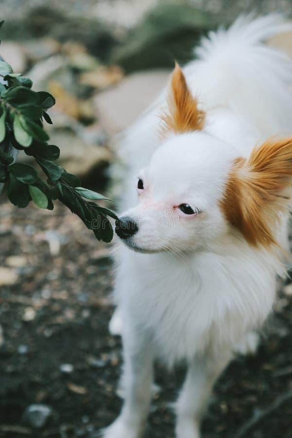 Kleiner weißer Hunderiechendes Gebüsch lizenzfreies stockfoto