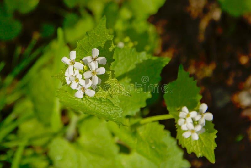 Kleiner weißer Knoblauchsenf blüht Nahaufnahme stockfotografie