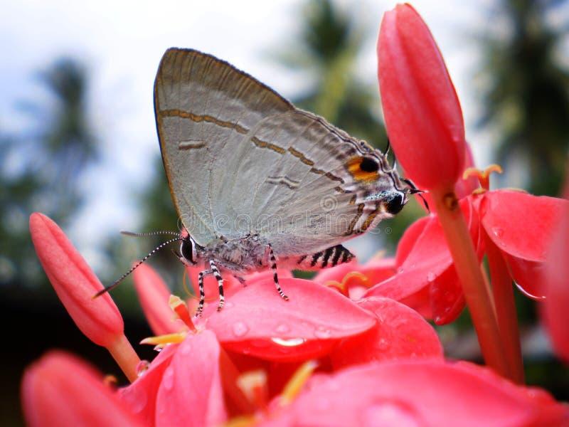 Kleiner weißer Schmetterling und rosa Bluetenspitze lizenzfreie stockbilder