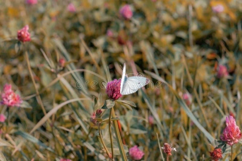 Kleiner Weißkohlschmetterling auf rosa Klee lizenzfreie stockbilder