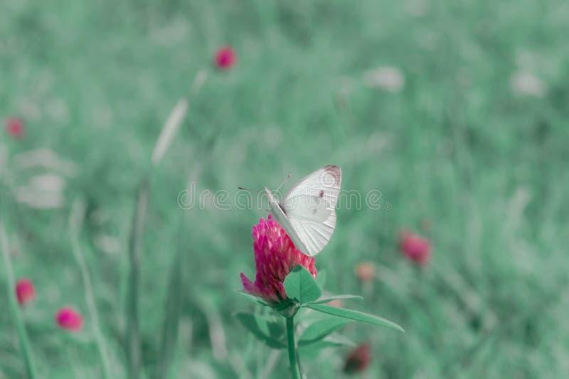Kleiner Weißkohlschmetterling auf rosa Klee lizenzfreies stockfoto