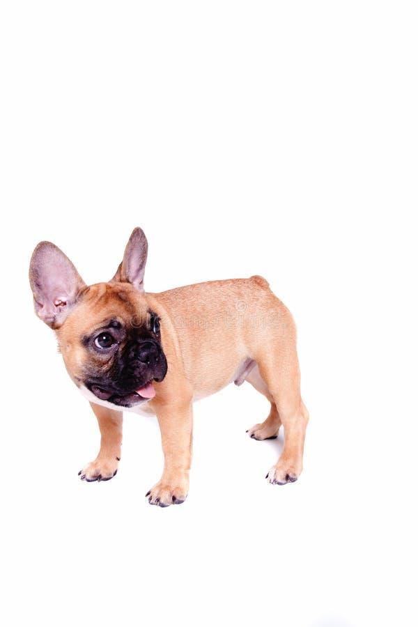 Kleiner Welpe der französischen Bulldogge lizenzfreies stockbild