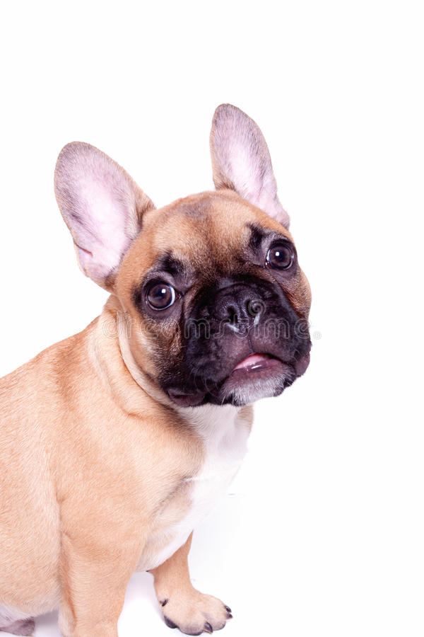 Kleiner Welpe der französischen Bulldogge stockbild
