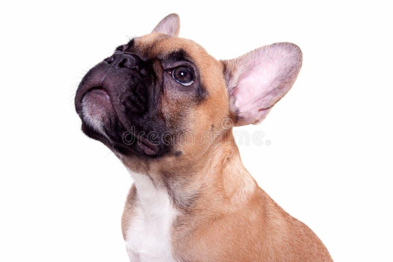 Kleiner Welpe der französischen Bulldogge stockfotos