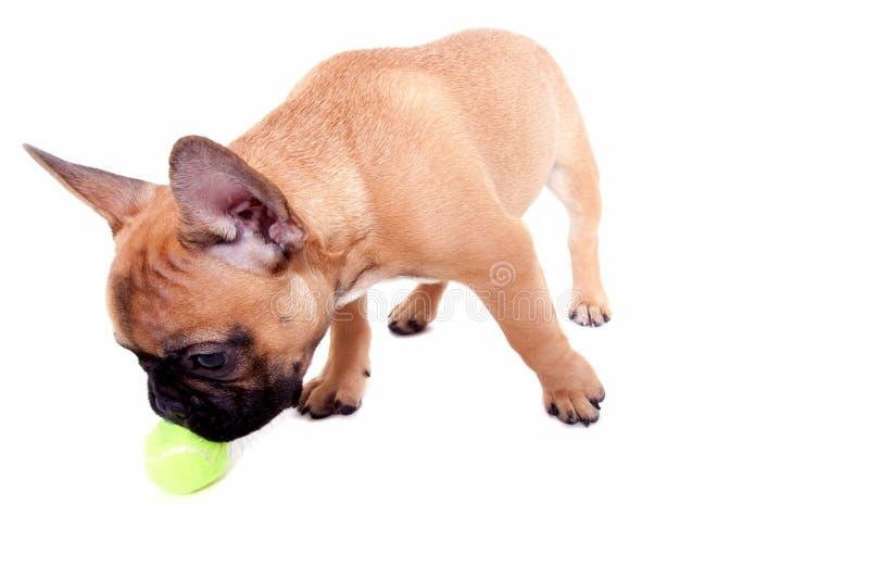 Kleiner Welpe der französischen Bulldogge lizenzfreie stockfotografie